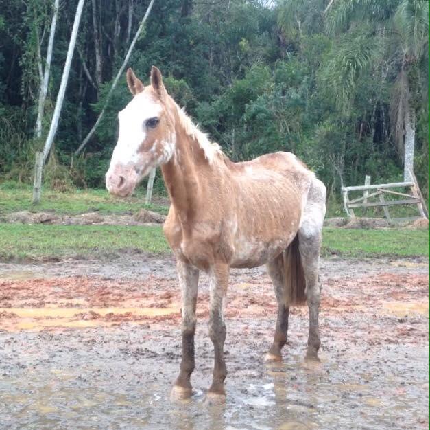 Cavalos para adoção